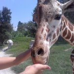Alimentando a las jirafas