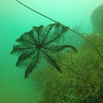 Feather star sat on a fan coral