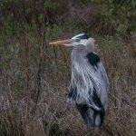 Great Blue Heron in mating plumage