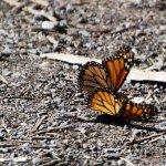 Photo de Monarch Butterfly Grove