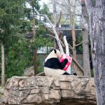 Panda - the best attraction of National zoo