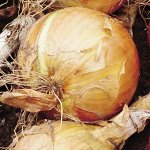 Fresh Sweet spanish onions.