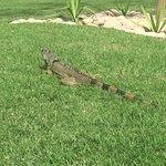 The friendly local Iguana