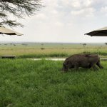 View from dining area across pool to Masaai Mara with dining warthog in foreground