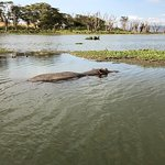Solitary Male Hippo