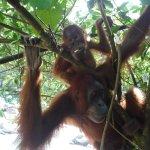 Orangutan mum and baby