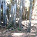 Giant Banyan Tree