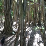 Riding on Horse thru the Giant Banyan Tree