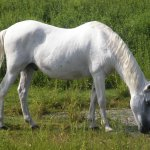 The famous Ocracoke Island ponies can be seen at a 180-acre enclosure north of town.