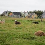 sheep with more houses