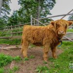 View our Highland Cow! Look at how cute she is!
