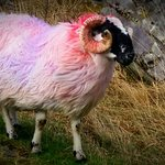 Pastel coloured sheep in the gap of dunloe
