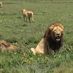 Impressive pride of lions.