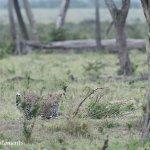 Loepard
