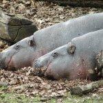 Hipopotamy karłowate.