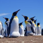 King penguins with egg-pouch