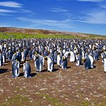 Large king penguin colony