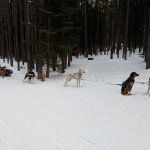 Sled dogs during meal break at campsite.
