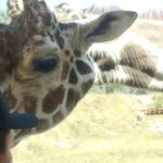 Can you get any closer to a Giraffe????