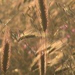 Campi di grano al tramonto: da qui arriva il pane che serviamo in tavola.