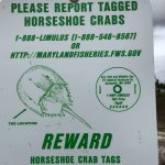 Be on the lookout for tagged horseshoe crab (alive or expired) for research.