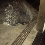 Penelope the porcupine at the hotel bar