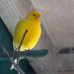 Pit canary