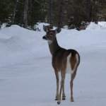 We saw lots of deer hanging around the closed for the season McDonald Lodge