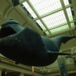 Phoenix: the 45-foot long North Atlantic Right Whale