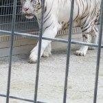 White Lion Sub Adult
