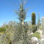 Boojam tree