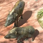 As close as we got to the javelina