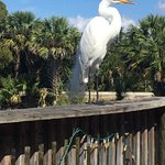 Resident Egret watch out he wants your food