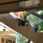 Squirrel monkeys passing through the patio and dining area at breakfast!