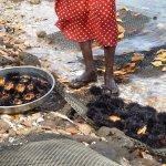 ramassage des oursins