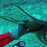 A curious octopus near a small plane wreck at around 75 feet.