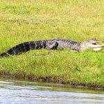 Alligator enjoying the sun