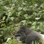 Endangered Mountain Gorillas - Bwera family, Uganda