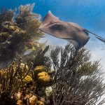 stingrays in clear waters of the Cayman's. The Cayman Turtle Divers took this!