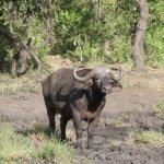 African buffel Manyelete Park Khoka Moya med Albatros