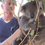 Gently stroking sleeping Koala