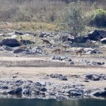 Deer on the far side of the river (the occasional crocodile may be seen)