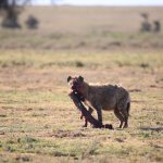 hyena finishingthe breakfast she caught