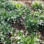 Carpets of snowdrops in Robins Grove