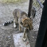 Training the three cheetahs to respond so that they can receive appropriate care.