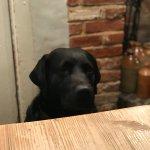 Hank the resident Labrador