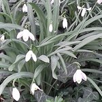 and more snowdrops