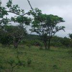 Wildlife - Bufflo