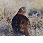 Red grouse, up close on the moor