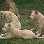 Wildlife - Lion